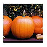 David's Garden Seeds Pumpkin Jack O'Lantern SL9831 (Orange) 50 Heirloom Seeds