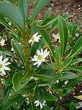 1 Starter Plant of Drimys Andina - Drimys Winteri Andiana