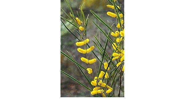 Inland Jam Wattle 30 Seeds narrow phyllodes Acacia acuminata