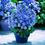 200pcs Blue Canterbury Bell Seeds Bellflower Home Garden