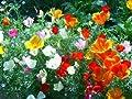 David's Garden Seeds Flower Poppy California Mixed DGSPOP131TO (Multi) 1000 Open Pollinated Seeds