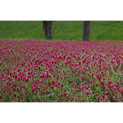 3000 CRIMSON CLOVER (Carnation, French, or Italian Clover) Trifolium Incarnatum Flower Seeds: Toys & Games