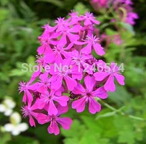 50 PC Semillas inclinar la cabeza Catchfly de flores, semillas de flor Silene pendula, semillas de flores,