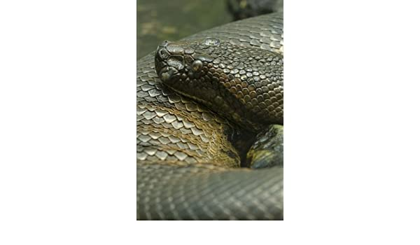Pythons: 150 lined pages