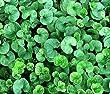 DICHONDRA GROUND COVER Dichondra Repens - 3,000 Bulk Seeds