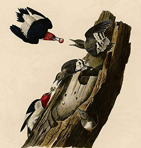 JH Lacrocon John James Audubon - Red Headed Woodpecker Canvas Wall Art 55X60 cm(ca. 22X24 inch) - Birds Paintings Reproduction Print Rolled