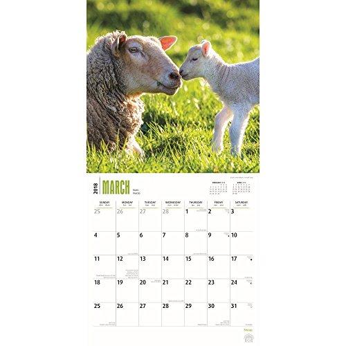 Sheep 2018 Wall Calendar Photo #2