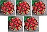 Burpee 'Seascape' Ever-Bearing Strawberry Shipped as 25 Bare Root Plants (Fіvе Расk)