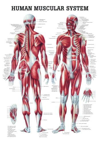 Muscular System Chart (The Human Muscular System Laminated Anatomy Chart)