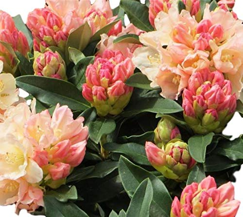 Rhododendron Garden - Golden Torch Rhododendron - Live Plant - Trade Gallon
