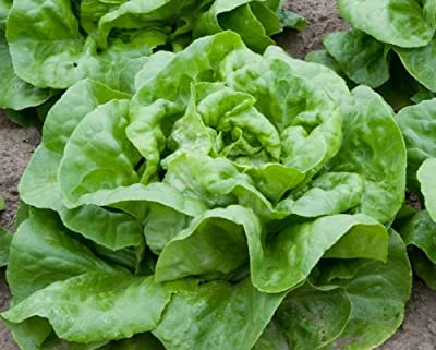 1,000+ Buttercrunch Heirloom Lettuce Seeds- 2017 Seeds