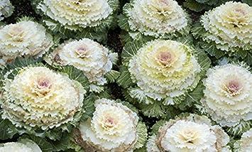 Amazon Osaka White Flowering Cabbage 25 Seeds Annual