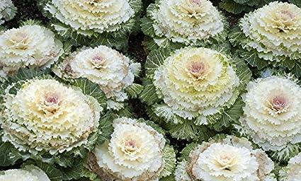 Amazon osaka white flowering cabbage 25 seeds annual osaka white flowering cabbage 25 seeds annual mightylinksfo