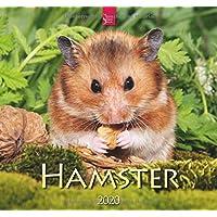 Hamster: Original Stürtz-Kalender 2020 - Mittelformat-Kalender 33 x 31 cm
