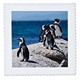 3dRose Danita Delimont - Penguins - South Africa, Cape Town, Boulders Beach. African penguin colony. - 22x22 inch quilt square (qs_256959_9)