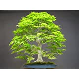50 japanese bonsai maple tree Seeds mini bonsai tree for indoor plant can put on office desk