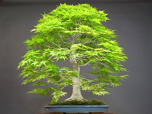 50 japanese bonsai maple tree Seeds mini bonsai tree for ...