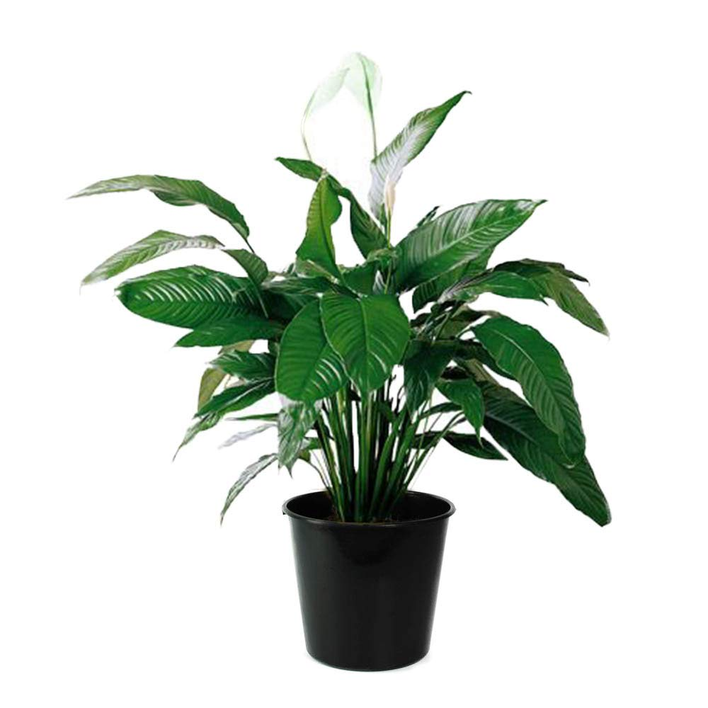 AMERICAN PLANT EXCHANGE Spathiphyllum Debbie Peace Lily Live Plant, 3 Gallon, Indoor/Outdoor Air Purifier! by AMERICAN PLANT EXCHANGE
