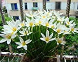 100 Seeds Zephyranthes Candida Seed onion Orchid Seeds Mini Easy Planting Fun Indoor 4#32779338957ST