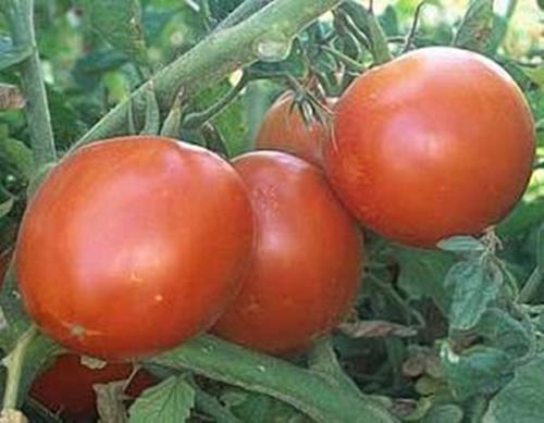 Super Sioux Tomato Seeds (Super Sioux Tomato)