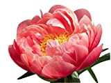 Coral Sunset Double Peony - Shipped Bare Root