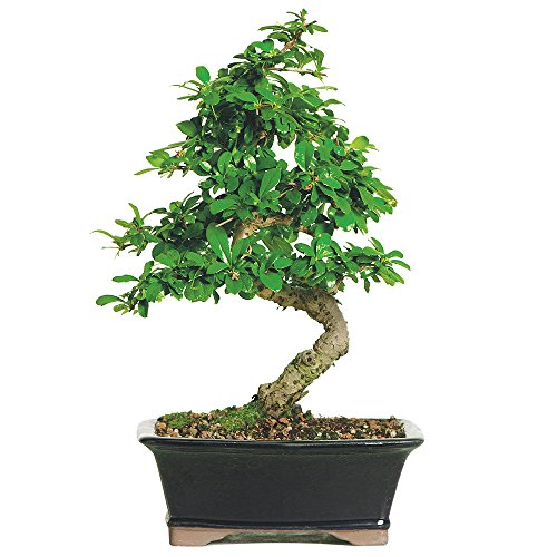 Brussel's Fukien Tea Bonsai - Medium - (Indoor) by Brussel's Bonsai