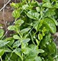 David's Garden Seeds Leafy Greens Spinach Green Malabar D2438NB (Green) 200 Open Pollinated Seeds