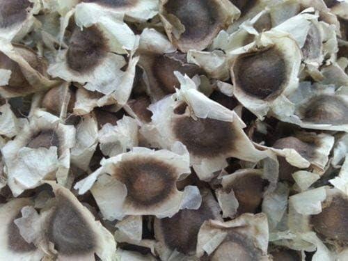 PLAT FIRM GRAINES DE Germination 50+ semences Moringa Seeds Arbre /Ã/ Baguettes Pur Indien Biologique