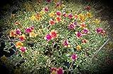 Portulaca grandiflora 'Fairytales Cinderella' Starter Plant by Sandys Nursery Online