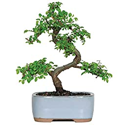 Brussel\'s CT9005CE Chinese Elm Bonsai