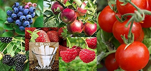 Fruit Combo Pack Raspberry, Blackberry, Blueberry, Strawberry, Apple, Tomato (Organic) 675+ Seeds 650327337305 Self Fertile + 6 Free Plant Markers (Tomato Seed Pack)
