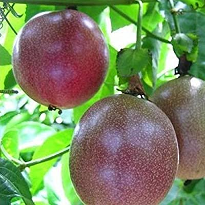SKAISK Purple Passion Fruit Seeds, 10Pcs/Pack Delicious Fruit Seeds Easy Growing for Home Garden Yard Farm Planting : Garden & Outdoor