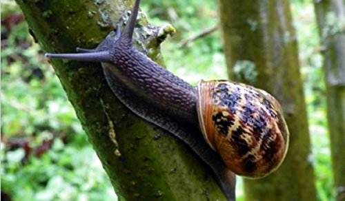 Hot Sale! 1 LIVE SNAIL, Helix Aspersa Muller, Greek, Perfect Pet, Free at Nature