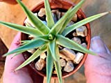 "'RARE' -AGAVE STRICTA 'NANA' - ESTABLISHED - 2 1/4"" POT -DWARF HEDGEHOG AGAVE"