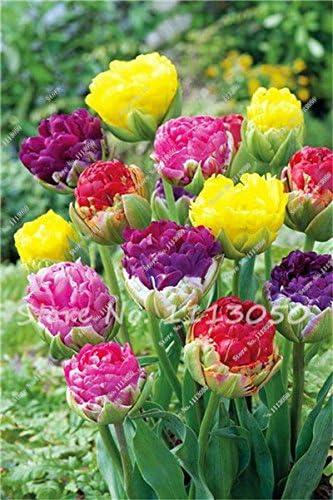 Semillas 30PCS tulipán, plantas Aroma tulipán, Rare Helado, Tiesto jardineras, bricolaje para el hogar y jardín, plantas de bonsai para la decoración de 6: Amazon.es: Hogar