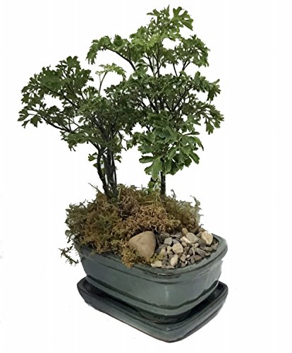 The Light Garden Bonsai Tree - 5