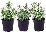 Seville Farms HB017 Trio Lavender Live Plant, 1.00 Pint, Green