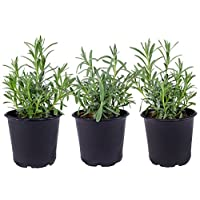 Seville Farms HB017 Trio Lavender Live Plant, 1.00 Pint, Green