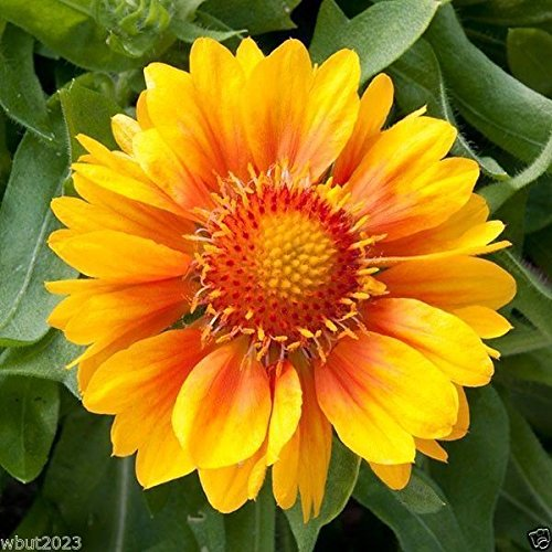 10 Gaillardia grandiflora Mesa Peach,Seeds, Easy-to-grow perennial (Peach Mesa)