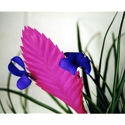 Hawaiian Pink Quill Plant - Exotic & Easy - Tillandsia - 4