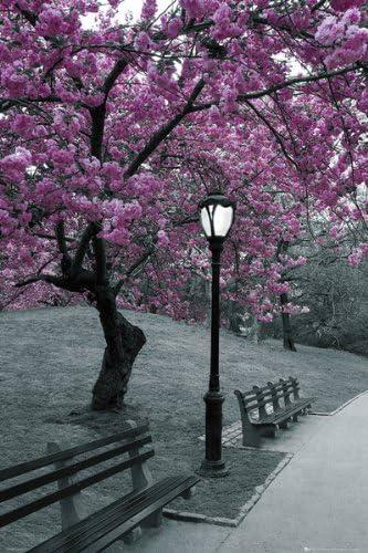 Poster Central Park Blüten Am Baum Größe 61 X 91 5 Cm Maxiposter