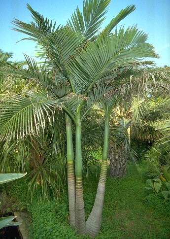 Alexander palm tree seeds -20 x Archontophoenix alexandrae palm seeds - tropical-seeds