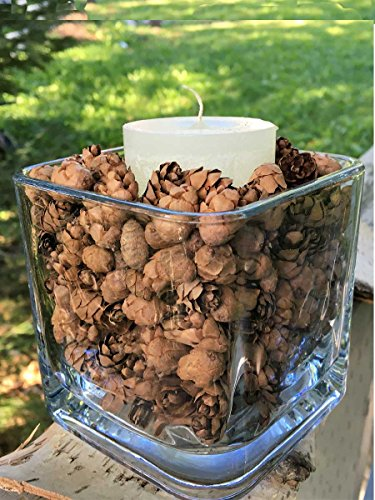 3000 Eastern Hemlock Mini Cones, Great for Rustic Decor, Holiday Crafts and Potpourri (Cone Bearing Plants)