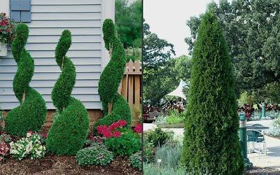 25 Emerald Green Arborvitae 3''Pot - (Thuja occidentalis)