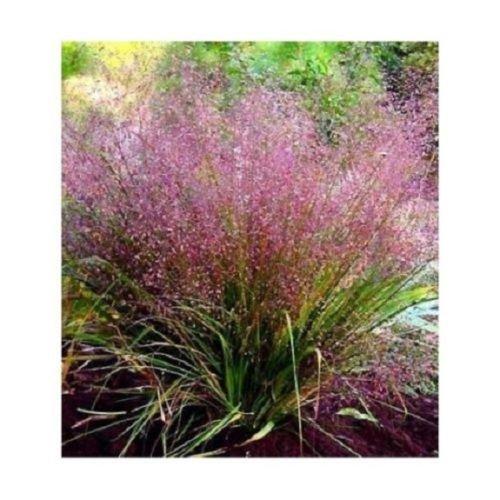 (50+ Purple Love Grass Eragrostis/Thrives in Poor Soil/Perennial Flower)