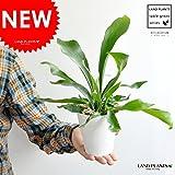 LAND PLANTS コウモリラン 卓上サイズ 4号白色鉢カバーセット