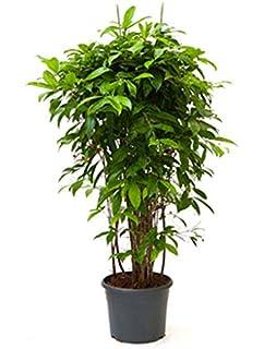 Zimmerpflanzen Für Sonnige Standorte drachenbaum 100 130 cm im 32 cm topf große zimmerpflanze
