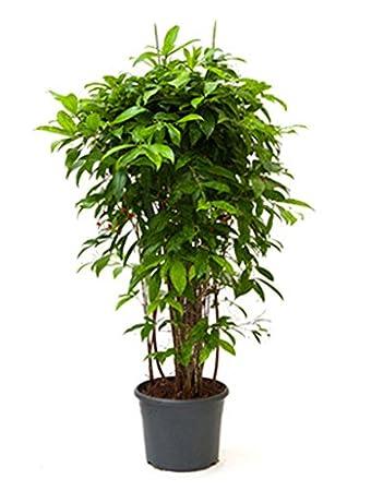 Zimmerpflanzen Für Schatten drachenbaum 100 130 cm im 31 cm topf große zimmerpflanze schatten
