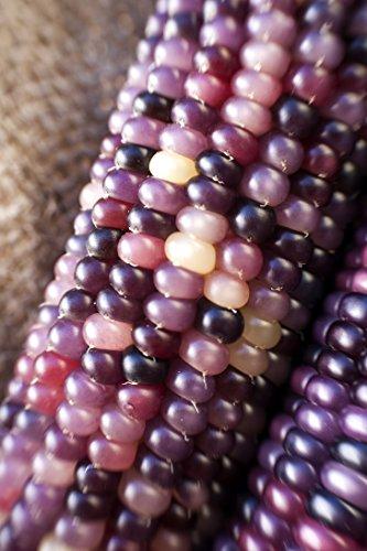 Amethyst Dream Purple Glass Gem Cherokee Indian Corn Heirloom Premium Seed Packet + - Sherwood Glasses