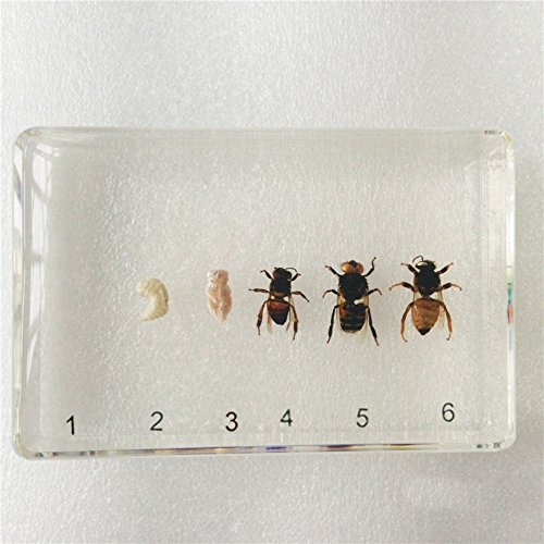 Insect Specimen Life Cycle of Honey Bee Set Simplified Clear Block -
